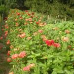 "Row of zinnia ""Benary Giant"", a staple in the farm market bouquets."