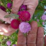 Hands at work-comparing varieties of gomphrena.  They add a bright punch of color to bouquets and arrangements.